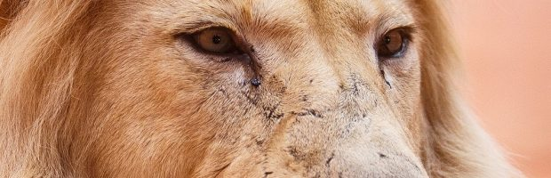 Lion King - horoscoop van augustus 2019